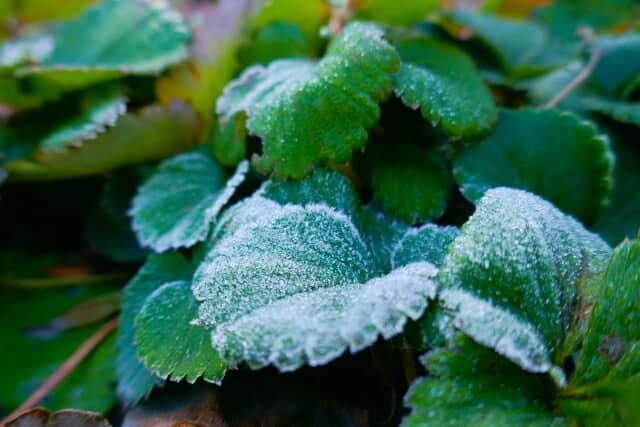 霜がおりたイチゴの葉