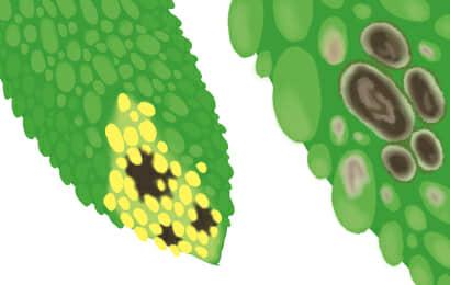 斑点病におかされたゴーヤの果実