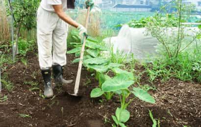 サトイモの土寄せ