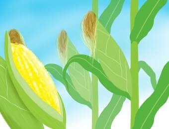 トウモロコシ栽培
