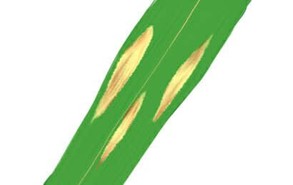 すす紋病におかされたトウモロコシの茎葉