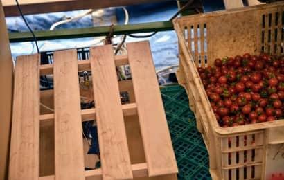 トマトの選果
