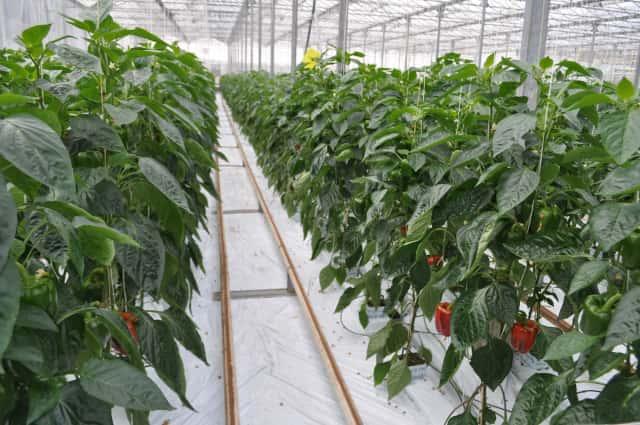 オランダのパプリカ栽培