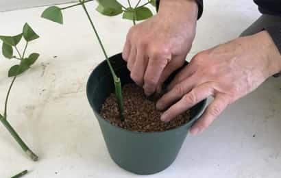 挿し穂を土に挿す