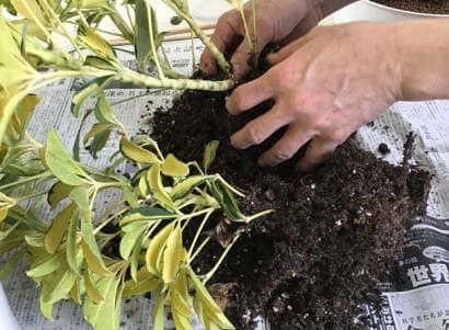 シェフレラの根鉢をほぐす