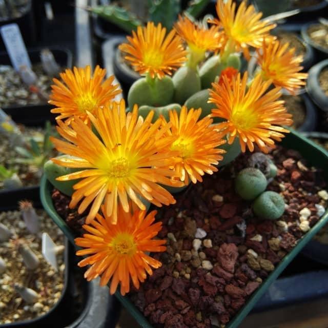 コノフィツムの花