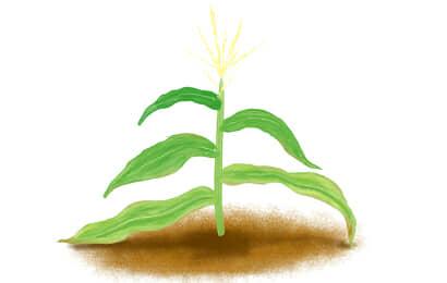 モザイク病におかされたトウモロコシの茎葉
