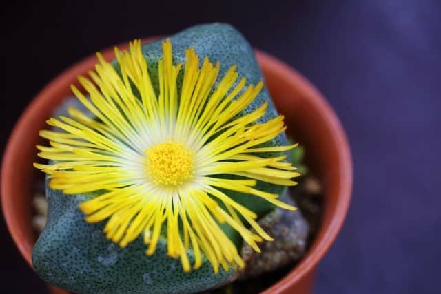 プレイオスピロスの花