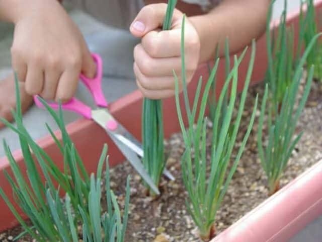 プランターの葉ネギを収穫する