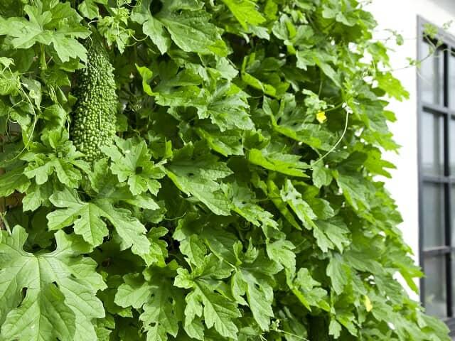 暑さ対策に始めたい! 緑のカーテンの作り方とおすすめ植物4種【Garden Story連携企画】