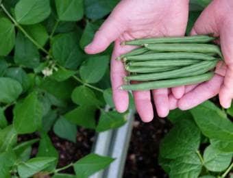 インゲンのプランター栽培