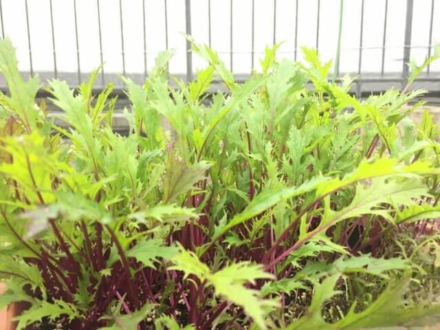 水菜のプランター栽培