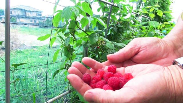 ラズベリーを収穫する手