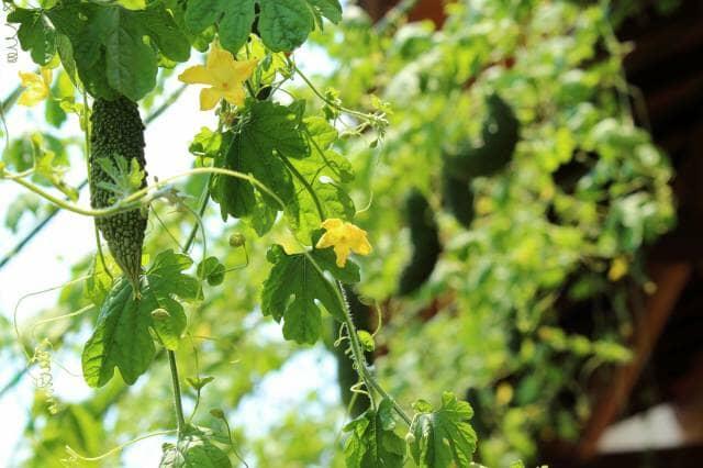 花と実をつけたゴーヤ
