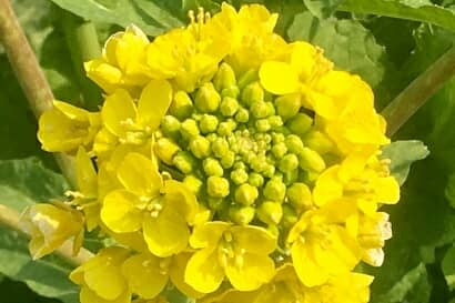 黄色いアブの花