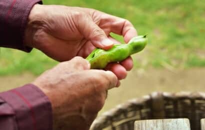 ソラマメの豆を取り出す