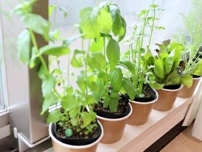 室内で栽培中のハーブ