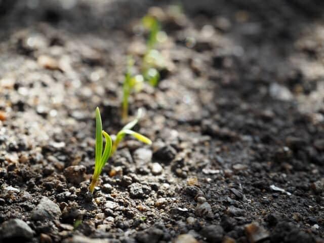 ホウレンソウの発芽