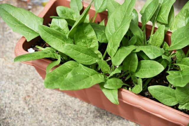 ホウレンソウのプランター栽培