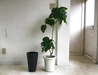 ゴムの木の植え替え