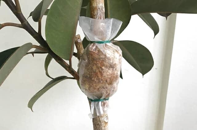 フィカスの取り木