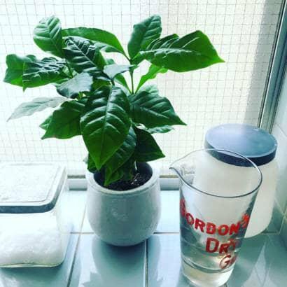 コーヒーの木の小鉢仕立て