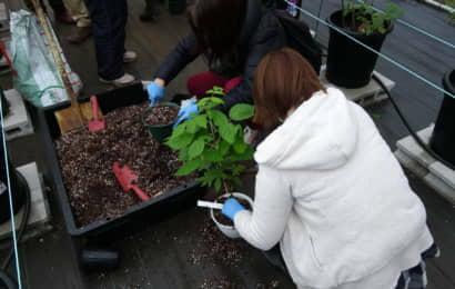 ラズベリーの苗を植え付ける人