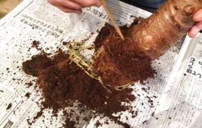 棒で根の土を落とす