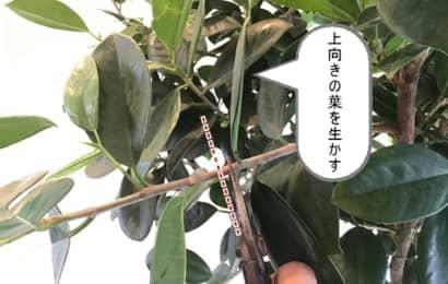 ゴムの木の剪定箇所