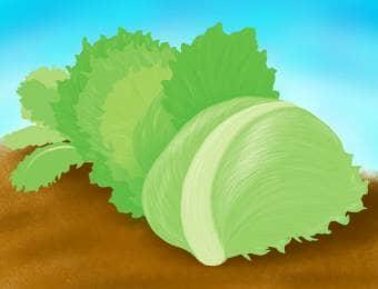 レタス栽培のイラスト