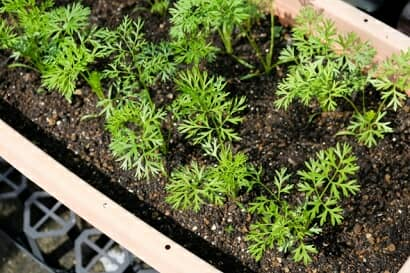 プランターで栽培中のニンジン