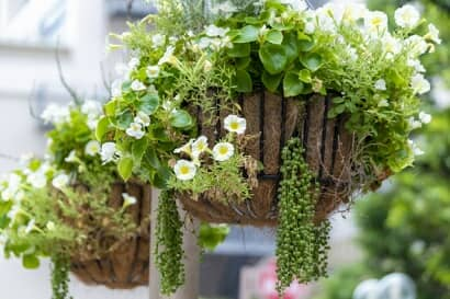 ハンキングバスケットで栽培中の植物