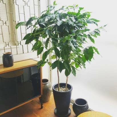 コーヒーの木の大株