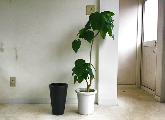 植え替えのゴムの木と新しい鉢