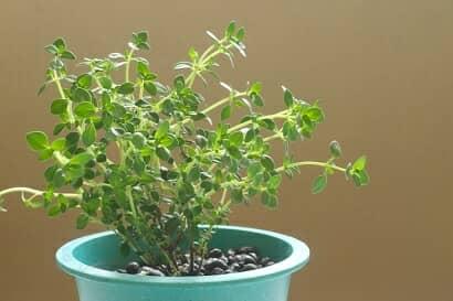 レモンタイムの鉢植え