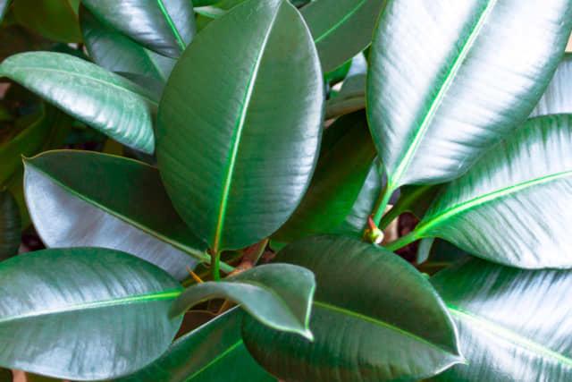 フィカスの葉