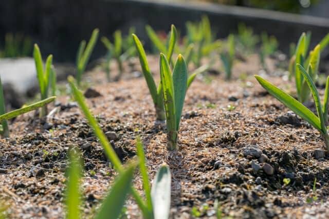 ニンニク栽培