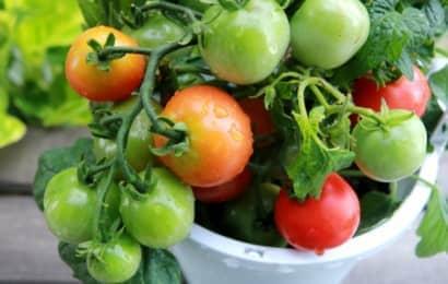 プランター栽培のミニトマト