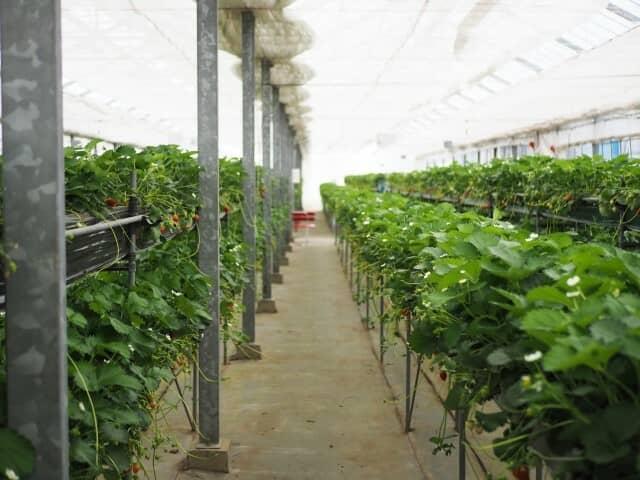 遮光カーテンを使ったイチゴ栽培施設