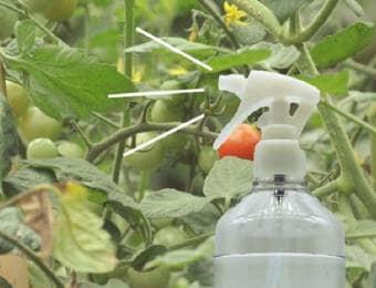 トマトに葉面散布剤を散布