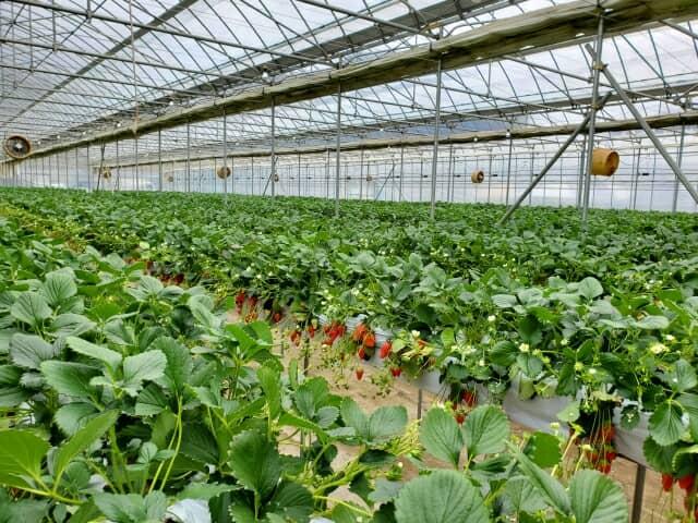 イチゴのハウス栽培