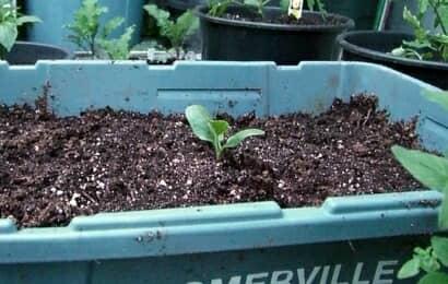 ズッキーニの苗の植え付け
