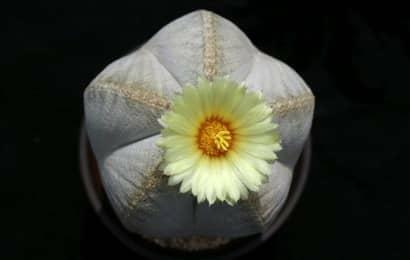 白ランポー玉の花
