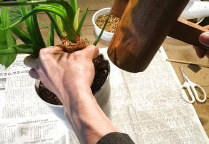根鉢を引き抜く