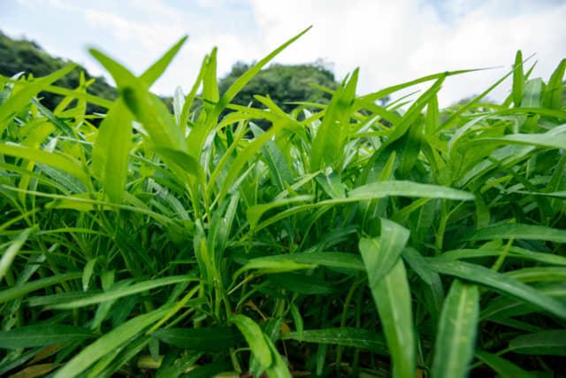 クウシンサイの畑
