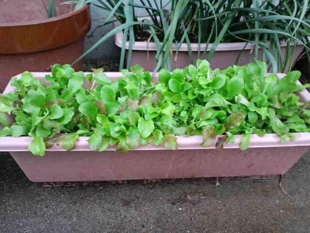 レタスのプランター栽培