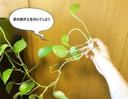 ポトスの葉の向き