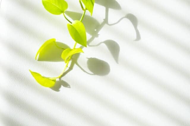ポトスの葉