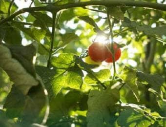 太陽の光を浴びるトマト