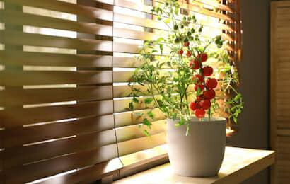 鉢植えのミニトマト